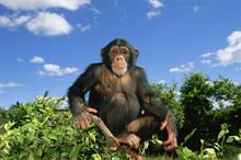 Chimpanzee (Pan Troglodytes) Sitting At The Top Of A Tree, Captive, Chimfunshi Orphanage, Zambia. Endangered Species.