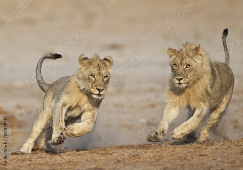 View of lion playing in Etosha National Park