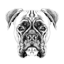 The Head Of The Dog Breed Boxe...