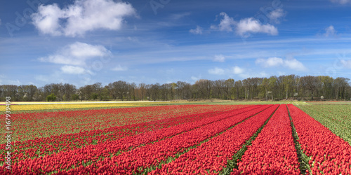 Tulips in fields, Lisse, Netherlands