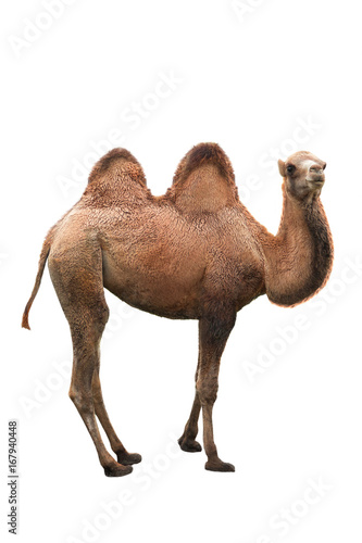 Poster Chameau young camel