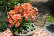 Potted Lewisia With Profuse Or...