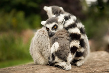 Cute Family Of Ring-tailed Lem...