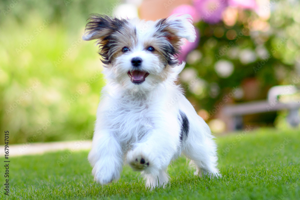 Fototapety, obrazy: Cute, happy puppy running on summer green grass