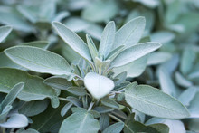 Plant Of Sage, Aromatic Herb, Closeup