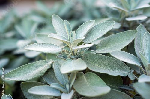 La pose en embrasure Condiment Plant of sage, aromatic herb, closeup