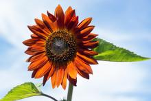 Bright Orange Sunflower Flower Against Blue Sky Background