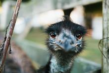 Emu Staring At The Camera