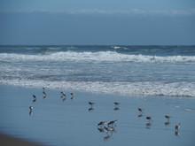 Snowy Plovers Picking At The Ocean In Santa Cruz
