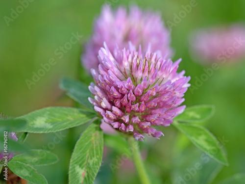 Rotklee, Wiesen-Klee, Trifolium pratense