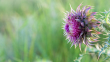 Pink Thistle Flower In Bloom C...