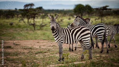 Obraz na płótnie Czujna Zebra