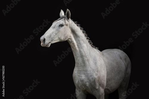 Zdjęcie XXL Portret szary koń odizolowywający na czerni