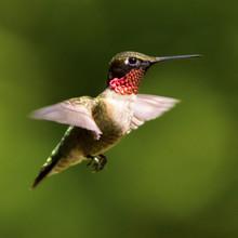Adult Male Ruby-throated Hummingbird In Flight