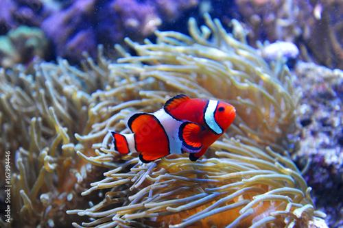 Obraz na dibondzie (fotoboard) czerwona ryba klaun w rafie koralowej