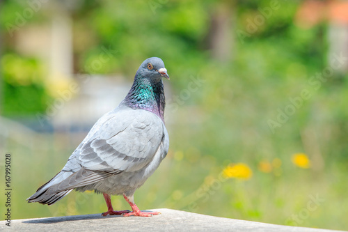 homing pigeon bird standing on home loft against beautiful green park