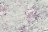 Kwiecisty rocznika piękny tło. Tapety z kwiatów jasnoróżowo-białej piwonii. Kompozycja kwiatowa Zbliżenie. Natura. - 168001422
