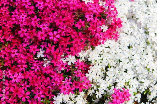 Deurstickers Roze 春の花咲く公園の風景8