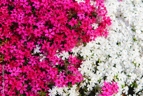 Fotobehang Roze 春の花咲く公園の風景8