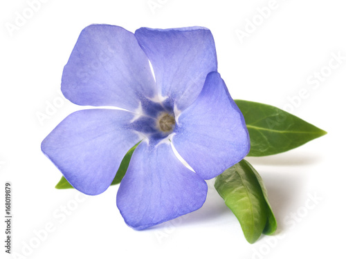 Fototapeta bright violet wild periwinkle flower