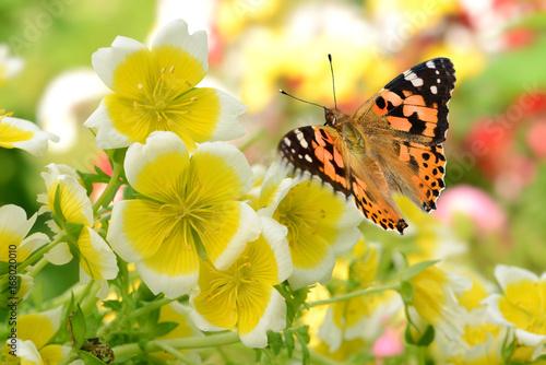 Poster Vlinder Schmetterling 287