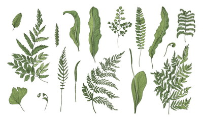 Fototapeta Botaniczne Fern realistic collection. Hand drawn sprouts, frond, leaves and stems set. Colorful vector illustration.