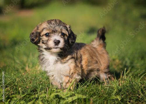 Canvas Print havanese dog puppy