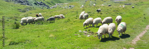In de dag Lime groen free range flock of sheep in the mountains on a meadow in the fold