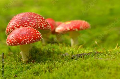 Amanita Muscaria, poisonous mushroom. Wallpaper Mural