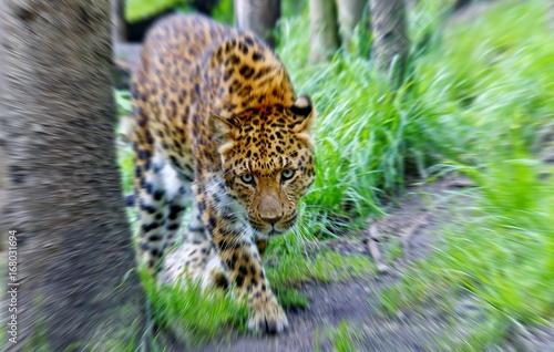 In de dag Panter Leopard, Jaguar, Panter (panthera onca) Zoom In