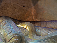 Macklot's Python Or Freckled Python In The Cave