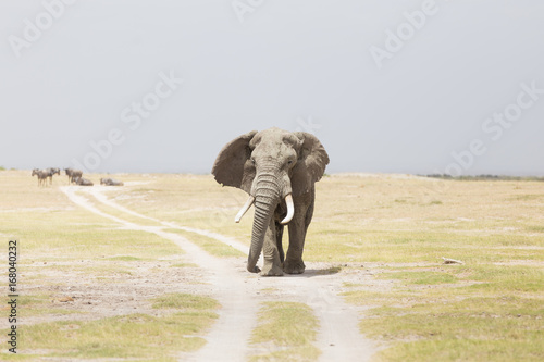 Photo  Solitary elephant standing on a dirt road at Amboseli National Park, formerly Maasai Amboseli Game Reserve, is in Kajiado District, Rift Valley Province in Kenya