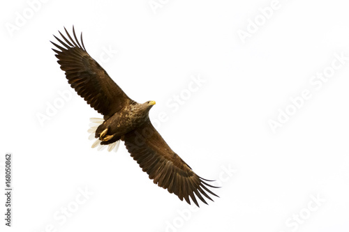 White-tailed Eagle (Haliaeetus albicilla) flying, Norway
