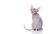Bald Sphinx Cat On White
