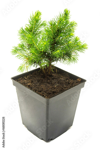 Canadian Spruce Conic In A Pot Isolated
