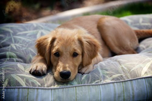 Photo  Golden Retriever