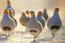 A Flock Of Gray Partridges In The Backlight. Leader In Front.