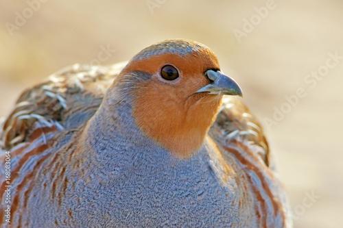 Gray partridge extra close up portrait Fototapeta