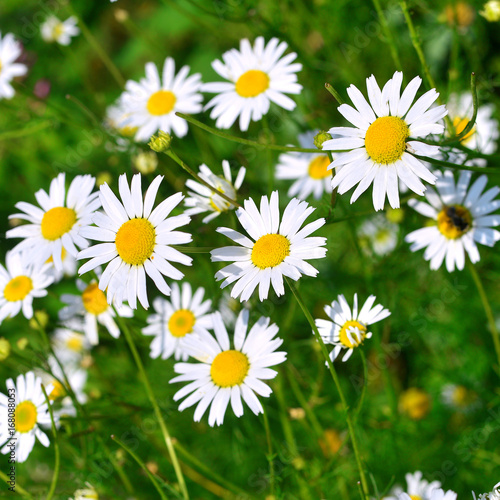 Staande foto Lente Flowers curative white daisy on a background in the garden on the flowerbeds