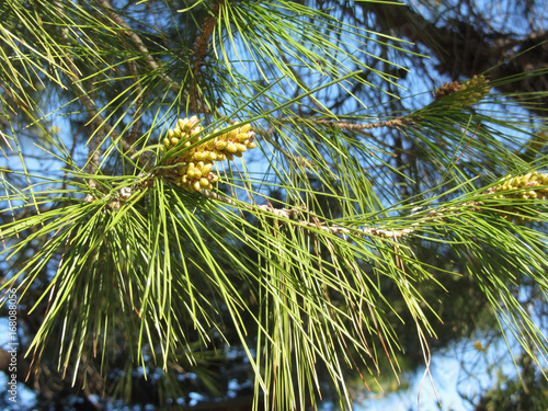 Immature male or pollen cones of pine tree ( Pinus pinaster or maritima ). Conifer cones . Tuscany, Italy