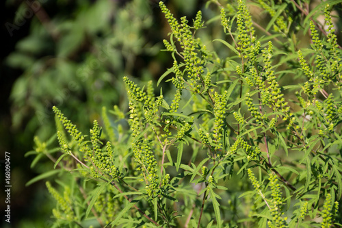 Photo Ragweed plants