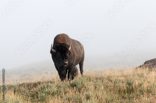 Foto op Canvas Bison Bison Bull
