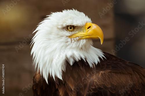 Poster Aigle aigle pyguargue oiseau rapace tête emblême symbole puissance portrait détermination