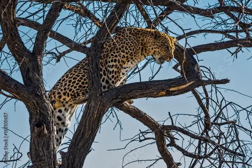 Plakat Afrykański lampart odpoczywa na drzewie