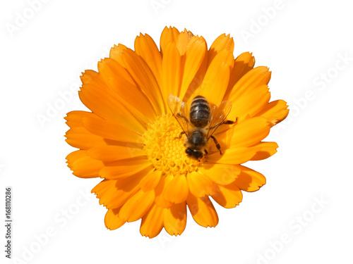 Plakat Pszczoła na kwiecie nagietka (Calendula Officinalis) izolowany