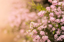 Saponaria Pink Little Flowers For Holiday Gift Postcard