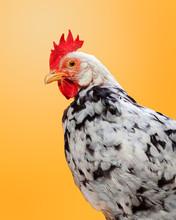 Fancy Chicken, On Yellow Background, Studio