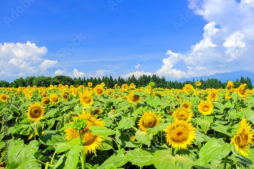 夏の青空と向日葵畑