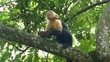 Capuchin monkey in a tree eating pieces out a coconut shell in Montezuma Costa Rica