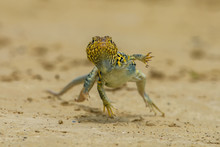 "Bearded Dragon"", Crotaphytus C..."